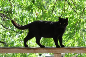 Black_cat_on_a_railing_and_green_trees_in_summer-Hisashi-01-300x199