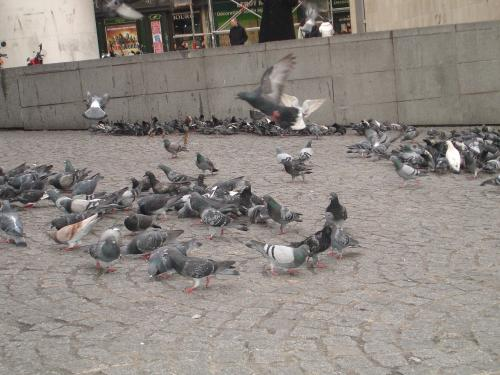 Beau_pigeons2