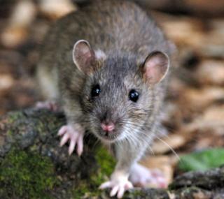 Rat (2)
